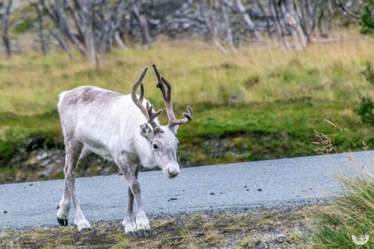 Rentiere im Fjord in Norwegen